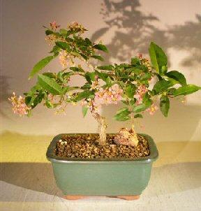 Flowering Dwarf Weeping Barbados Cherry Bonsai Tree - Medium (Malpighia Pendiculata)