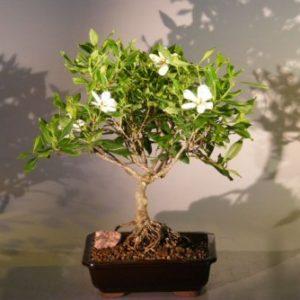 Flowering Gardenia Bonsai Tree - Large Clump Style (jasminoides miami supreme)