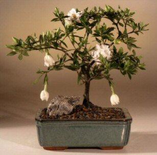 Flowering Gardenia Bonsai Tree (gardenia jasminoides)