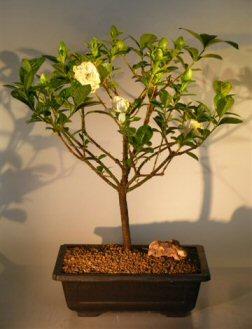 Flowering Gardenia (Jasminoides miami supreme)