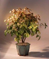Flowering Heavenly Bamboo Bonsai Tree (nandina 'firepower')