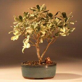 Flowering Japanese Mock Orange Bonsai Tree (pittosporum tobria variegata)