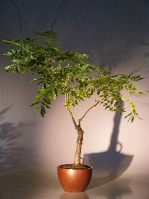 Flowering Japanese Wisteria Bonsai Tree (wisteria floribunda)
