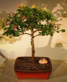 Flowering Lavender Star Flower Bonsai Tree - Large (Grewia Occidentalis)