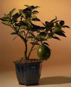 Flowering Lemon Bonsai Tree (meyer lemon)