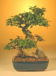 Flowering Ligustrum Bonsai Tree-Large (ligustrum lucidum)