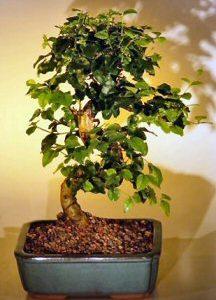 Flowering Ligustrum Bonsai Tree-Medium (ligustrum lucidum)