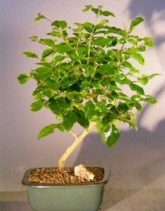 Flowering Ligustrum Bonsai Tree - Small (ligustrum lucidum)