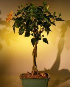 "Flowering ""Mango Mist"" Tropical Hibiscus - Braided Trunk Style (rosa sinensis)"