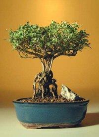 Flowering Mount Fuji Serissa With Raised Roots (serissa foetida)