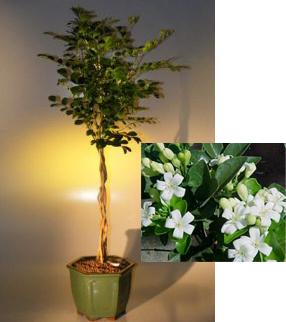 Flowering Orange Jasmine - Braided Trunk ('murraya paniculata')