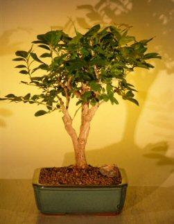 Flowering Orange Jasmine - Large ('murraya paniculata')