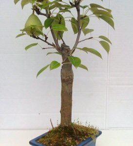 Flowering Pear Bonsai Tree (pyrus communis)