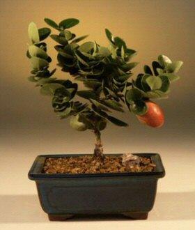 Flowering Plum - Small (carissa macrocarpa)