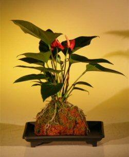 "Flowering Red Anthurium In Hawaiian Lava Rock (""small talk"") Bonsai Tree (anthurium andraeanum)"
