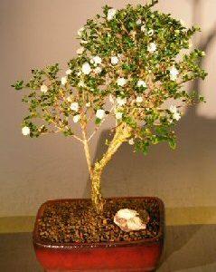 Flowering Snow Rose Serissa Bonsai Tree - Small (serissa foetida)