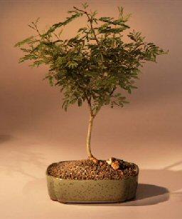 Flowering Sweet Acacia Bonsai Tree (acacia farnesiana)
