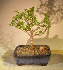 Flowering Top Hat Blueberry Bonsai Tree (vaccinium corymbosum argustifolium)