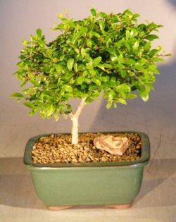 Flowering Tropical Boxwood Bonsai Tree (neea buxifolia)