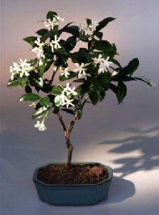 Flowering White Jasmine (trachelospermum jasminoides)