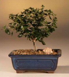 Flowering White Serissa Bonsai Tree- Small-Bonsai Tree of a Thousand Stars (serissa japonica)