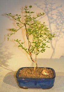 Flowering Winter Jasmine Bonsai Tree (jasminum nudiflorum)