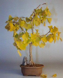 Ginkgo Bonsai Tree (ginkgo Biloba)