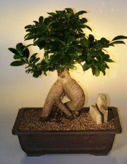 Ginseng Ficus Bonsai Tree - Extra Large (ficus retusa)