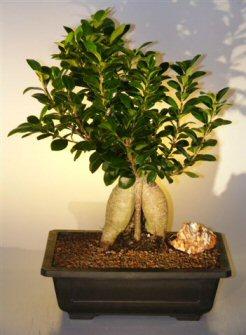 Ginseng Ficus Bonsai Tree (ficus retusa)
