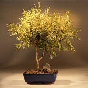Gold Thread Cypress - Large (chamaecyparis pisifera 'filifera aurea' nana)
