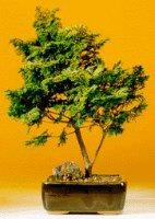 "Golden Hinoki Cypress - Large (Chamecyparis Obtusa Compacta ""aurea"")"