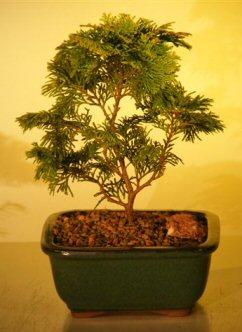 "Golden Hinoki Cypress - Medium (chamecyparis obtusa compacta ""aurea"")"
