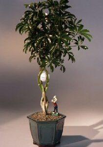 Golf Ball Hawaiian Umbrella Bonsai Tree With Miniature Golfer Figurine (arboricola schefflera)