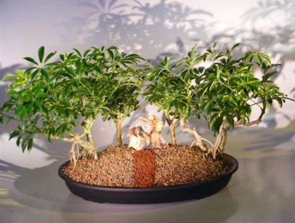 Hawaiian Umbrella Bonsai Tree - Banyan Group Style ( arboricola schefflera )