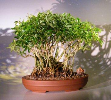 Hawaiian Umbrella Bonsai Tree - Banyan Style ( arboricola schefflera )