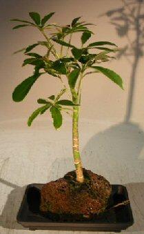 Hawaiian Umbrella Bonsai Tree - Gold - In Lava Rock - Small (arboricola schefflera 'luseanne' variegata)