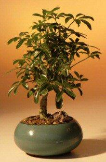 Hawaiian Umbrella Bonsai Tree - Small (arboricola schefflera)