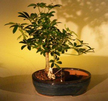 Hawaiian Umbrella Bonsai Tree/Water Bonsai Pot (arboricola schefflera)
