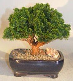 "Hinoki Cypress Bonsai Tree Evergreen Conifer - Large (Chamecyparis Obtusa ""Compacta"")"