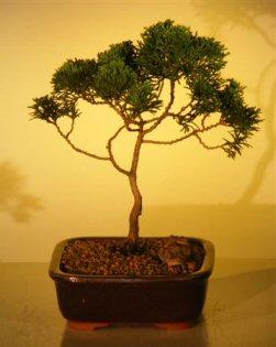 Hinoki Cypress Bonsai Tree - Medium (chamecyparis obtusa 'compacta')