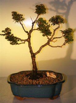 Hinoki Cypress Bonsai Tree - Pom Pom Style (chamecyparis obtusa 'nana')