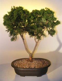 "Hinoki Cypress Bonsai Tree (chamecyparis ""gracillis"")"