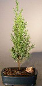 Italian Cypress Evergreen Bonsai Tree (cupressus sempervirens)