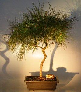 Japanese Black Pine Bonsai Tree - Curved Trunk (pinus thunbergii)