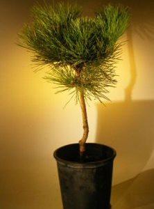 Japanese Black Pine Bonsai Tree - Pre Bonsai (pinus thunbergii)