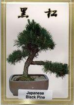 Japanese Black Pine Bonsai Tree Seeds