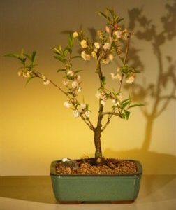 Japanese Flowering Cherry Bonsai Tree (prunus serrulata)