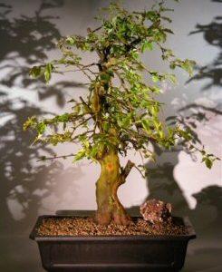 Japanese Flowering Quince Bonsai Tree (chaenomles 'texas scarlet')