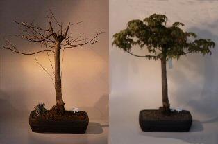 Japanese Green Maple Bonsai Tree (acer palmatum)