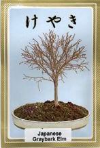 Japanese Greybark Elm Seeds